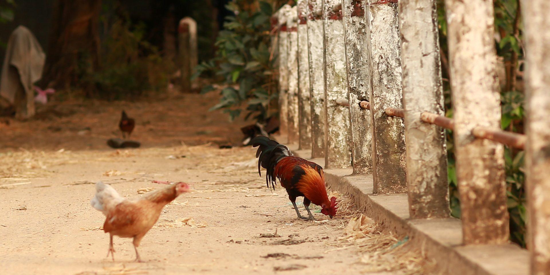 Kampong Chicken